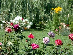 Когда сажать розы