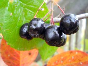 Заготовки из черноплодки